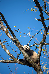 A panda who is training to be put back into the wild climbs a tree and his every move is tracked by some 200 closed-circuit in the Wolong National Nature Reserve in China.  There are now only an estimated 1,600 giant pandas left in the wild. In 2005, scientists at China's Wolong National Nature Reserve, in Sichuan province, attempted to release a young male into the wild, but it soon died, likely as a result of a fight with wild pandas. That's when the reserve's director, Zhang Hemin—dubbed Papa Panda—and his team realized that the captive-born animal didn't really know how to behave like a panda, and revamped the reserve's program nearly from scratch. They eventually decided that the best way to raise captive pandas that act like wild ones was to erase all traces of humans from their world and allow the mothers to raise their cubs on their own.
