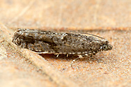 Tortricid Moth (Pseudexentera sp.)<br /> United States: Alabama: Tuscaloosa Co.<br /> Tulip Tree Springs off Echola Rd.; Elrod<br /> 2-Feb-2018<br /> J.C. Abbott #3023