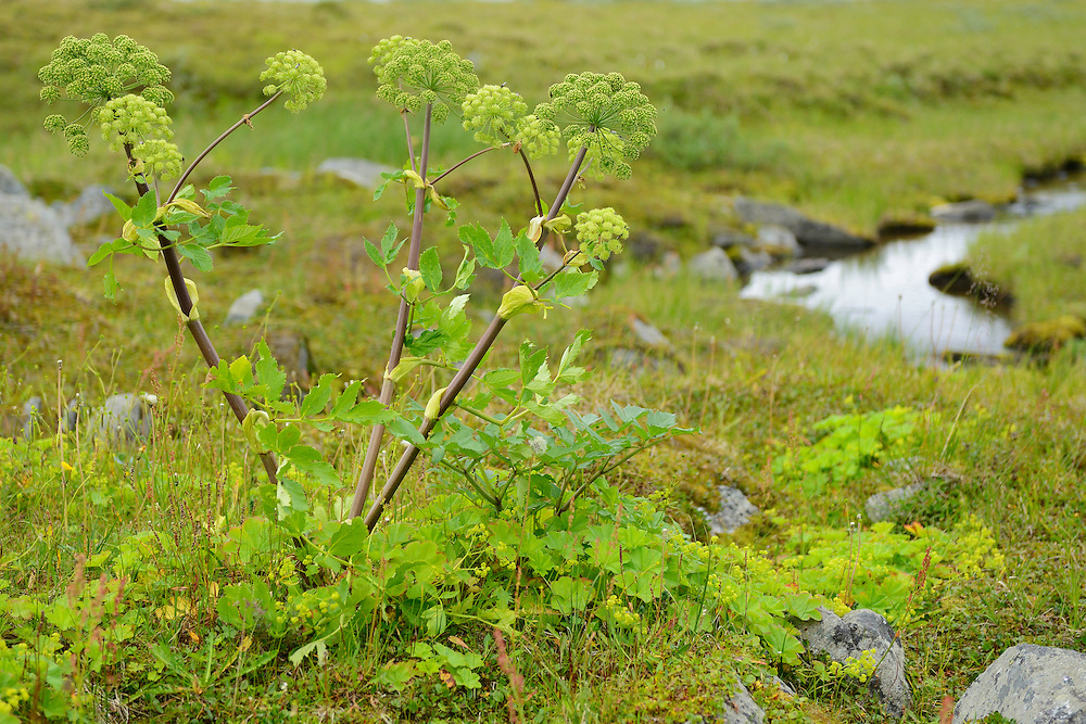 Wild celery, Angelica archangelica, Fjällkvanne, Family hiking trip on the Laponia Circuit, along the Padjelantaleden trail, Padjelanta National Park and Sarek National Park, Norrbotten, Lapland, Sweden.