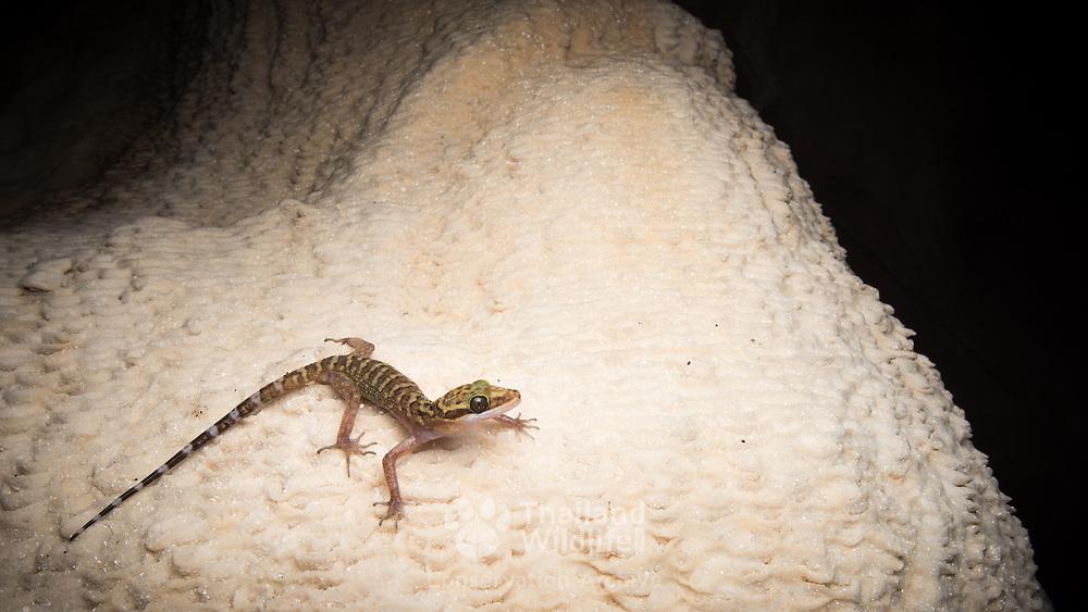 Sanook bent-toed gecko (Cyrtodactylus sanook) in Chumphon, Thailand