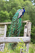 Male peacock with exotic feathers standing on perch on Isle of Mull in the Inner Hebrides and Western Isles, West Coast of Scotland