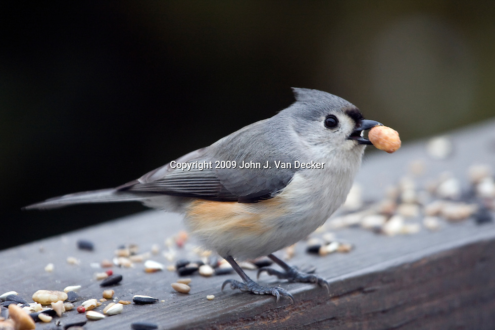 Tufted Titmus eating a nut