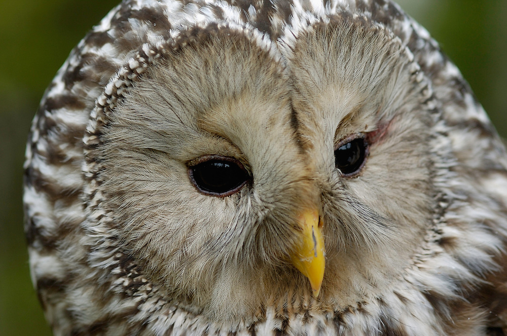 Ural owl, Strix uralensis, caught by researcher for ringing, Vastmanland, Sweden