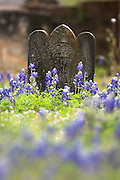 Lupinus texensis) spring, c. Texas cemetary