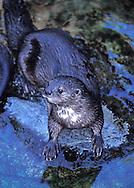 spotted necked river otter ( lutra maculiconis ) Endangered&amp;#xA;Inhabits Ituri River , Africa ( c )&amp;#xA; &copy; Kike Calvo - V&amp;W&amp;#xA;<br />