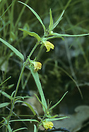 SMALL COW-WHEAT Melampyrum sylvaticum (Scrophulariaceae) Height to 25cm. Variable, straggly annual; semi-parasitic on roots of other plants. Grows in upland birch or pine woodlands. FLOWERS are 8-10mm long, the corolla deep yellow and 2-lipped, the mouth opening widely and the lower lip curved down; borne in pairs arising from the axils of leaf-like bracts that are barely toothed (Jun-Aug). FRUITS are capsules. LEAVES are narrow-oval. STATUS-Very local in Scotland and N Ireland.