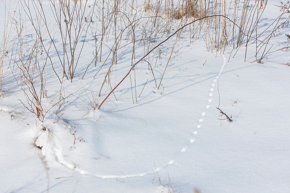 Mouse tracks through snow in meadow