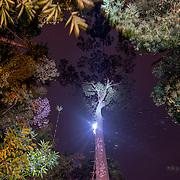 Light from honey hunter's head lamp seen during the honey hunter climbing the tualang tree to harvest honey on February 27, 2016.