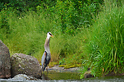 Great blue heron (Ardea herodias)  at Rainbow Falls<br />