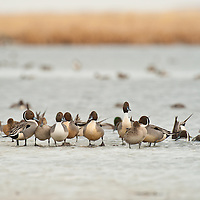 many pintail ducks resting on ice