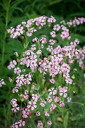 Saponaria vaccaria Pink Beauty - Soapwort