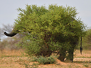 African Savannah Elephant, Loxodonta africana, camouflaging itself behind a too small bush... Marataba Private Reserve, Marakele National Park, Limpopo, South Africa