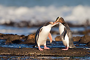 Most of its day is spent out at sea hunting for fish, except for when the endangered yellow-eyed penguin returns to shore for a quick preening and itch-and-scratch session, before finally heading into the forest to its nest.  Curio Bay, New Zealand