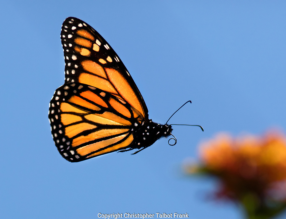 I had to shoot thousands of images before I got this sharp photo of a flying Monarch Butterfly.  The bright orange butterfly stands out from the blu sky.