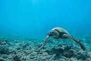 A Hawaiian green sea turtle coasts above the reef.