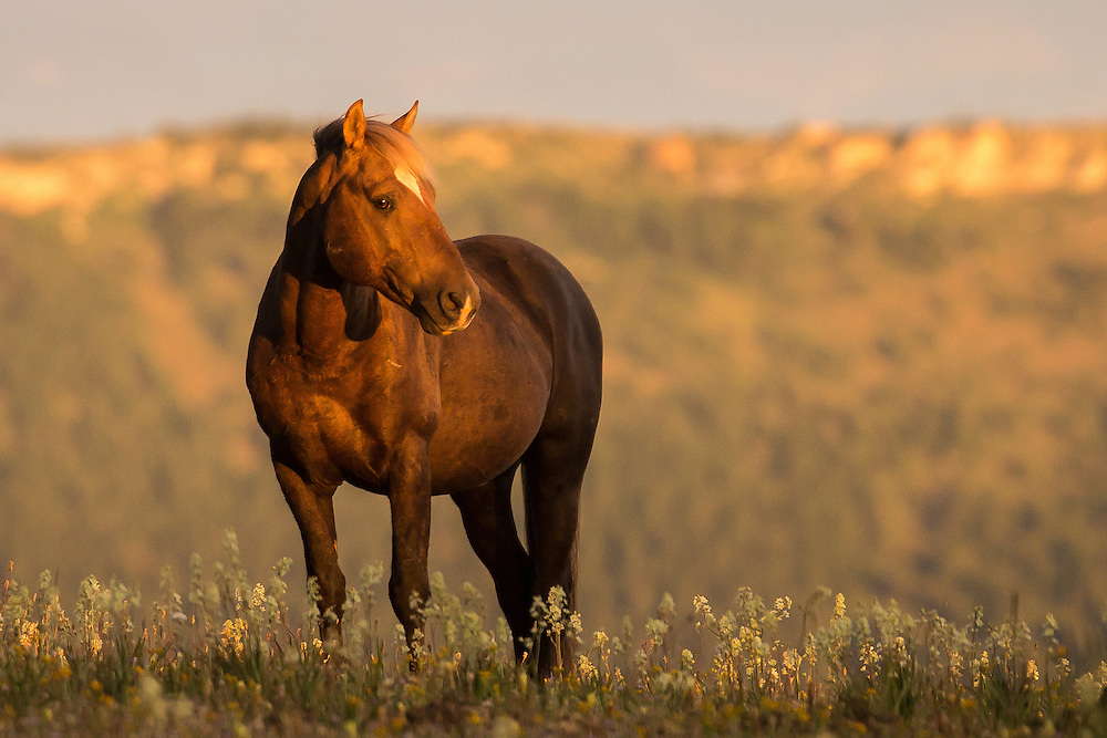 The band stallion, Bolder, pauses in a field of wildflowers as dawn breaks atop Pryor Mountain.