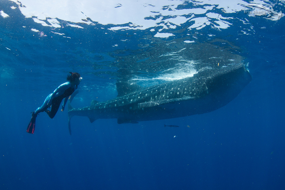 Kozy Kitchens swims with a whale shark (Rhincodon typus) at a feeding aggregation off of Isla Mujeres, Mexico