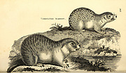 Marmot from General zoology, or, Systematic natural history Vol 2 Mammalia, by Shaw, George, 1751-1813; Stephens, James Francis, 1792-1853; Heath, Charles, 1785-1848, engraver; Griffith, Mrs., engraver; Chappelow. Copperplate Printed in London in 1801 by G. Kearsley