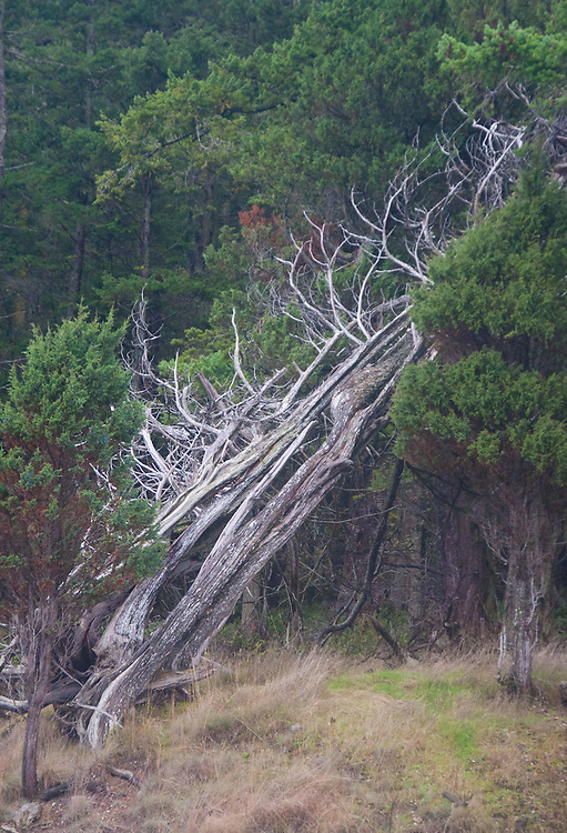 Tree, Stuart Island, Washington, US