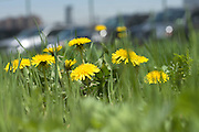 close up of grass with dandelions and parked cars in the background