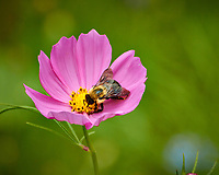 Bumblebee on a pink Cosmos flower. Backyard summer nature in New Jersey. Image taken with a Nikon 1 V3 camera and 70-300 mm VR telephoto zoom lens (ISO 400, 300 mm, f/5.6, 1/640 sec).
