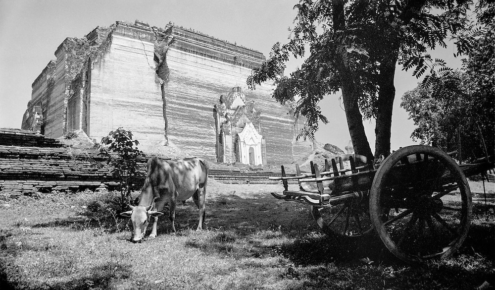 A cow feeding on grass in front of the ruins of Wat Mingun, an old run down pagoda up the Ayeyarwady river from Mandalay, Burma, 2003.