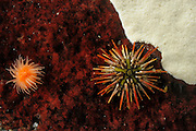 Naked green sea urchin (Arbacia dufresnii) Comau Fjord, Patagonia, Chile |