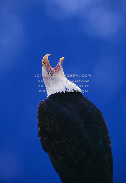 Photos Of Bald Eagles In Alaska And North America Pictures Of