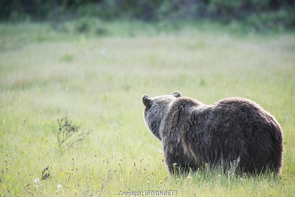 Grizzly Bear. (Ursus arctos), Alberta, Canada, Isobel Springett