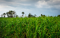 LORETO, PERU - CIRCA OCTOBER 2015:  Rice plantation around the Yarapa river. Village of Puerto Miguel in the Peruvian Amazon.