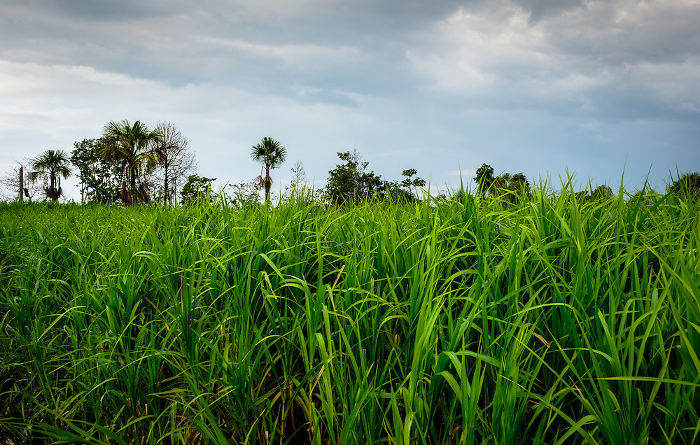 LORETO, PERU - CIRCA OCTOBER 2015:  Rice plantation around the Yarapa river. Village of Puerto Miguel in the Peruvian Amazon.