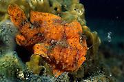 Painted frogfish (Antennarius pictus) with lure. They are mostly bottom-dwelling fishes that are well camouflaged; they employ the first dorsal spine as a fishing lure to attract prey. | Gemalte Anglerfisch (Antennarius pictus) mit Lockorgan. Der Gemalte Anglerfisch, auch Rundflecken-Anglerfisch genannt. Anglerfische leben im flachen Wasser tropischer und subtropischer Meere. Sie sind schuppenlos und zeigen als typisches Merkmal eine aus dem ersten Hartstrahl der Rückenflosse gebildete ?Angel? (Illicium) mit anhängendem Köder (Esca)  |
