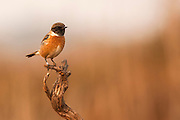 Male common stonechat, or  European Stonechat (Saxicola rubicola). This small songbird gets its name from its call, which sounds like two stones being knocked together. It lives in open heathland, swooping down from a vantage point to take insects on the ground or sometimes in the air. It nests on or near to the ground. This bird is found throughout Europe, in the Middle East and in southern and eastern Africa.