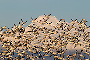 A large flock of Snow Geese (Chen caerulescens) mimics the shape of Mount Baker in Washington state. Tens of thousands of snow geese winter in the Skagit River delta each year, feeding on remnants of crops in farmers' fields. Mount Baker is a 10,778 foot (3,285 meter) volcano in Whatcom County, the third-tallest mountain in Washington state.