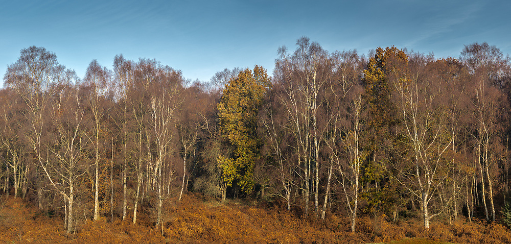 Berkhamsted Common, looking towards Coldharbour Farm in the Ashridge Forest.