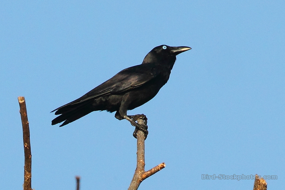 Bismarck Crow, Corvus insularis, New Britain Island, by Markus Lilje
