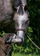 Grey Thoroubred gelding portrait