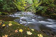 Whatcom Creek with Maple Leaves in Autumn Bellingham, Washington
