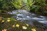 Whatcom Creek with Maple Leaves in Autumn Bellingham, Washington