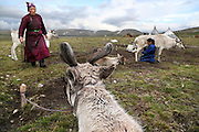 Stunning images reindeer herders of Mongolia<br /> <br /> Tsaatan people are reindeer herders and live in northern Khövsgöl Aimag of Mongolia. Originally from across the border in what is now Tuva Republic of Russia,the Tsaatan are one of the last groups of nomadic reindeer herders in the world. They survived for thousands of years inhabiting the remotest Ulaan taïga, moving between 5 and 10 times a year. <br /> The reindeer and the Tsaatan people are dependent on one another. Some Tsaatan say that if the reindeer disappear, so too will their culture. The Tsaatan depend on the reindeer for almost, if not all, of their basic needs:  their reindeers provide them with milk, cheese, meat, and transportation. They sew their clothes with reindeer hair, reindeer dung fuels their stoves and antlers are used to make tools. They do not use their animals for meat. This makes their group unique among reindeer-herding communities. As the reindeer populations shrink, only about 40 families continue the tradition today. Their existence is threatened by the dwindling number of their domesticated reindeer. Many have swapped their nomadic life for urban areas. <br /> <br /> Time for daily milking, by sunset<br /> ©Pascal MANNAERTS/Exclusivepix Media