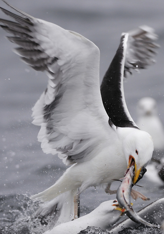 Greater Black-Backed Gull, Larus marinus, Flatanger, Nord-Trondelag, Norway