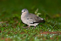 Picui Ground-Dove (Columbina picui), Araras Ecolodge,  Mato Grosso, Brazil (Photo: Peter Llewellyn)