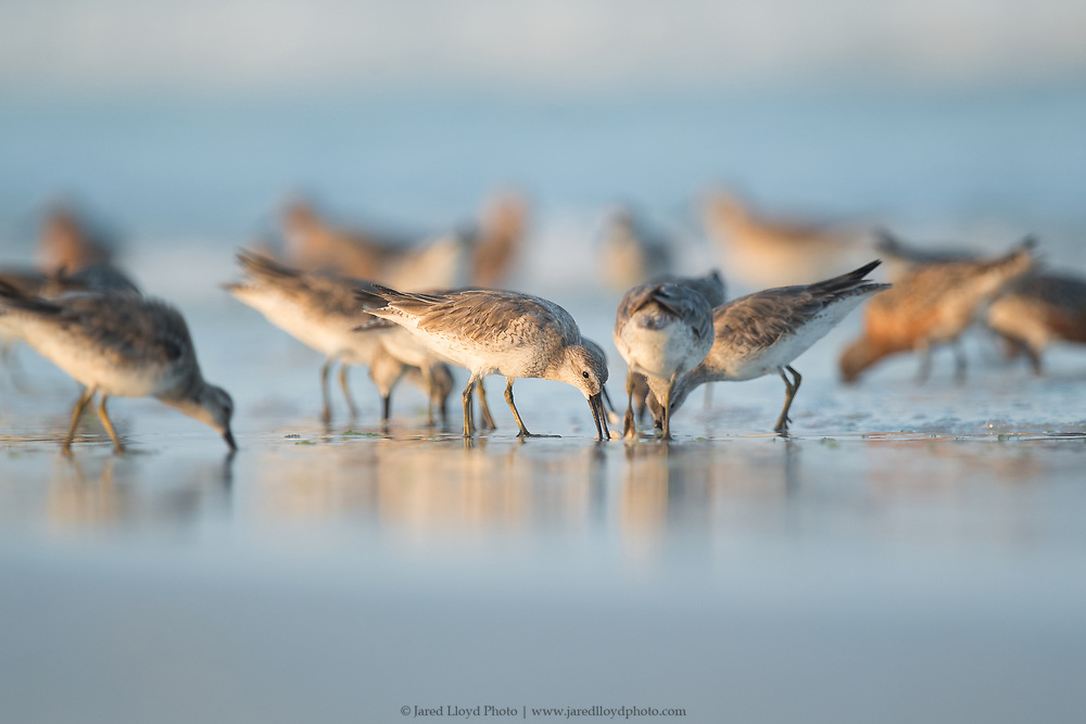 a flock of migrating red knots feed along the foreshore of the beach