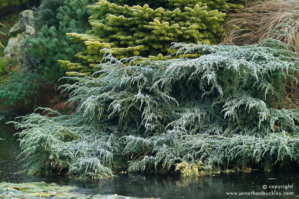 Juniperus squamata 'Blue Carpet' ( Flaky juniper ) spreading on the edge of the pond in John Massey's garden at Ashwood Nurseries in winter