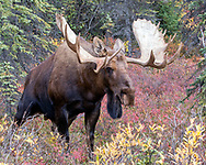 Alaskan bull moose urinates as a display of dominance