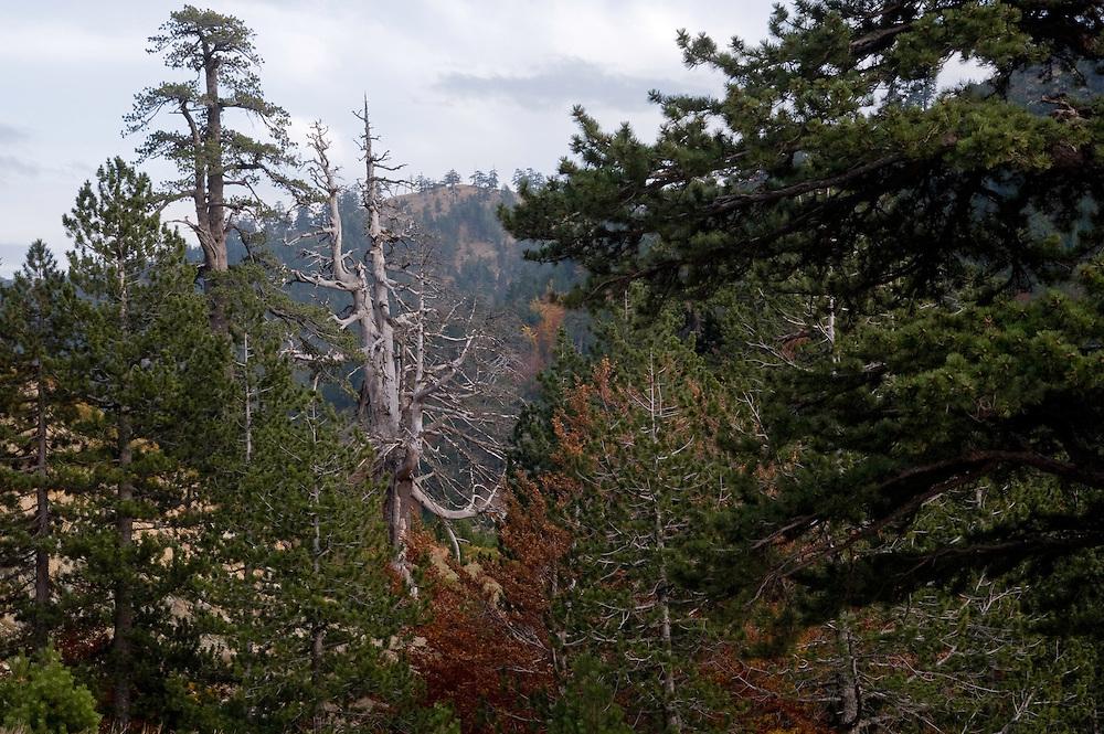 Greece, Pindos Mountains, Pindos NP, Valia Calda, Pine forest in Valia Calda,
