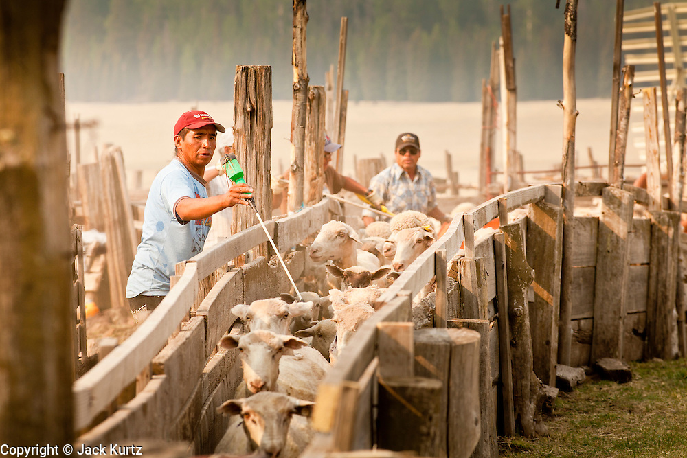 "05 JUNE 2011 - GREER, AZ: Ricardo Toribio (CQ) drives sheep through the pens at the Sheep Springs Sheep Co summer shearing camp northwest of Greer Sunday. Mark Pedersen (CQ), of Sheep Springs Sheep Co, said they drove about 2,000 sheep from Chandler up to their summer pastures near Greer. They were supposed to start shearing on Friday, but didn't start till Friday because of the Wallow Fire. They also run cattle on land southeast of the sheep pasture, closer to Greer. Pedersen said they were prepared to move both the cattle and the sheep if they had to. He said the biggest problem with the smoke was that it bothered the sheeps' lungs much the same way it bother people's lungs. The fire grew to more than 180,000 acres by Sunday with zero containment. A ""Type I"" incident command team has taken command of the fire.  PHOTO BY JACK KURTZ"