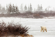 CANADA, Churchill (Hudson Bay).Polar bear (Ursus maritimus) in snowstorm