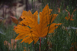 Fallen, Big Leaf Maple, Leaf, Prevost Island, Gulf Islands National Park Preserve, British Columbia, Canada, Acer macrophyllum