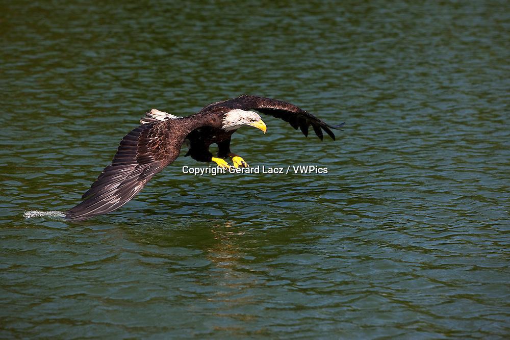 Bald Eagle, haliaeetus leucocephalus, Immature in Flight, Fishing